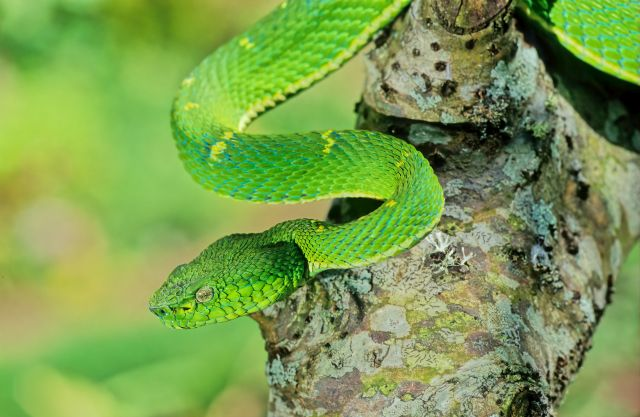 Grüne Giftschlange
